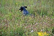 2013 г. Первенство практической охоты с подружейными собаками.  Низами Гулиев и русский охотничий спаниель Дик